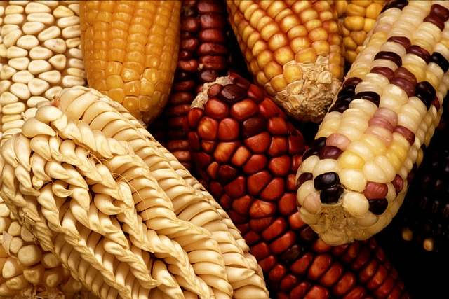 corn-63061_640 copy